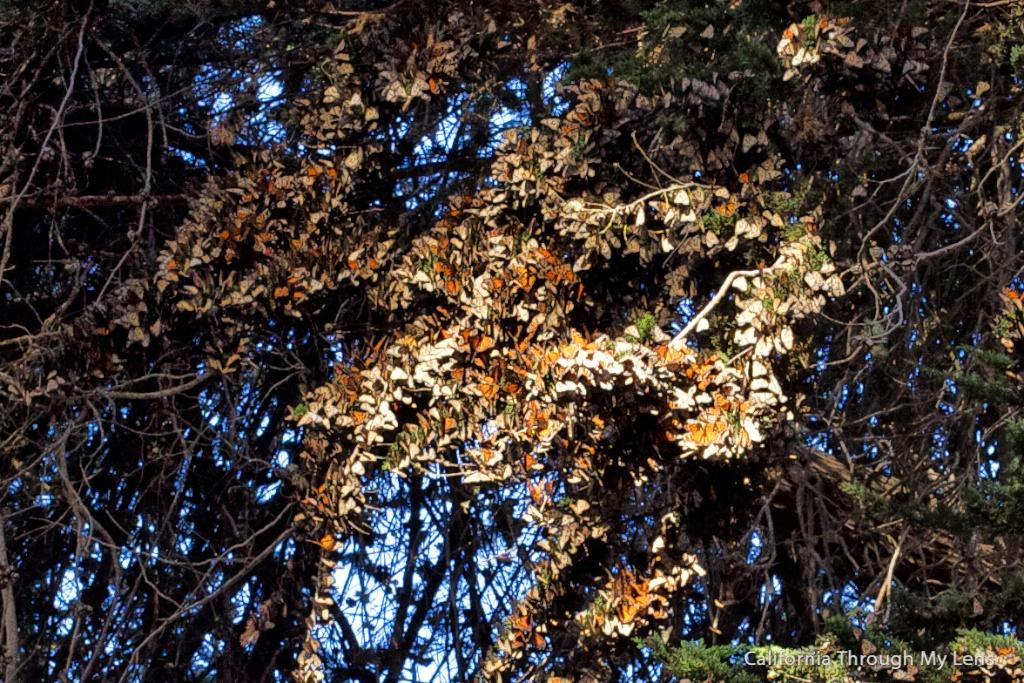Monarch-Butterfly-Grove-10