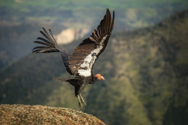 Condor Telemetry
